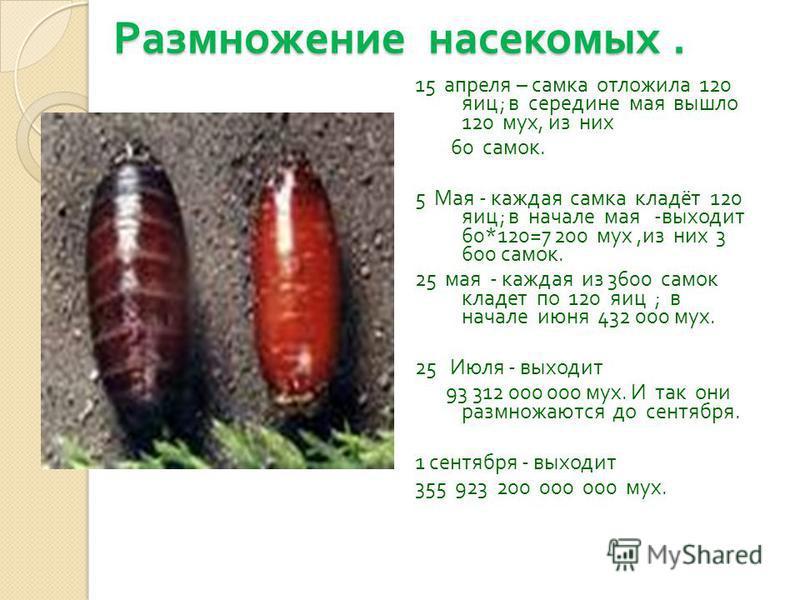 Размножение насекомых. 15 апреля – самка отложила 120 яиц ; в середине мая вышло 120 мух, из них 60 самок. 5 Мая - каждая самка кладёт 120 яиц ; в начале мая - выходит 60*120=7 200 мух, из них 3 600 самок. 25 мая - каждая из 3600 самок кладет по 120
