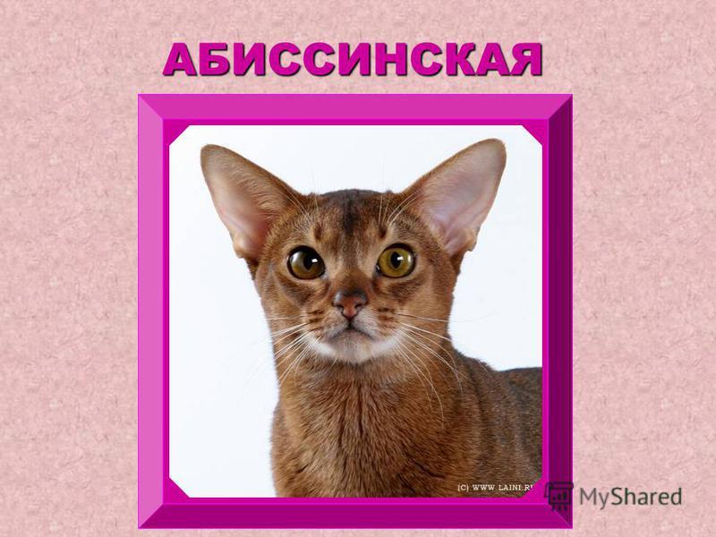 ПОРОДЫ КОШЕК Викторов Алексей