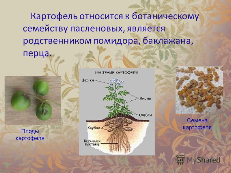 Картофель относится к ботаническому семейству пасленовых, является родственником помидора, баклажана, перца. Плоды картофеля Семена картофеля