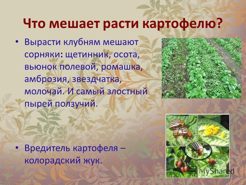 Что мешает расти картофелю? Вырасти клубням мешают сорняки: щетинник, осота, вьюнок полевой, ромашка, амброзия, звездчатка, молочай. И самый злостный пырей ползучий. Вредитель картофеля – колорадский жук.