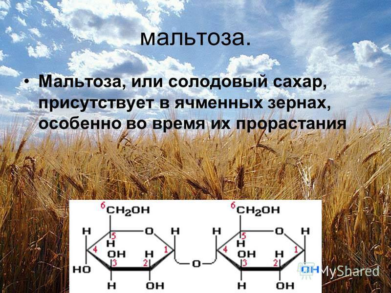 мальтоза. Мальтоза, или солодовый сахар, присутствует в ячменных зернах, особенно во время их прорастания