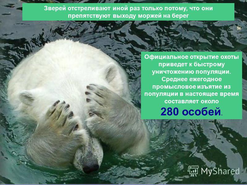 Зверей отстреливают иной раз только потому, что они препятствуют выходу моржей на берег Официальное открытие охоты приведет к быстрому уничтожению популяции. Среднее ежегодное промысловое изъятие из популяции в настоящее время составляет около 280 ос