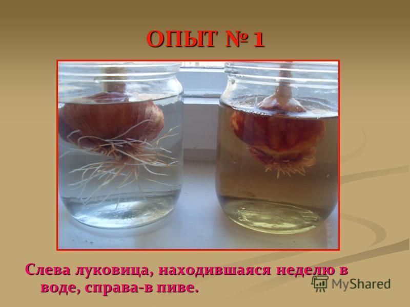 ОПЫТ 1 Слева луковица, находившаяся неделю в воде, справа-в пиве.
