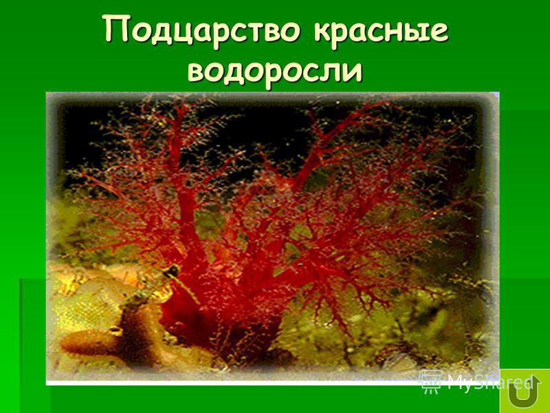 Подцарство красные водоросли