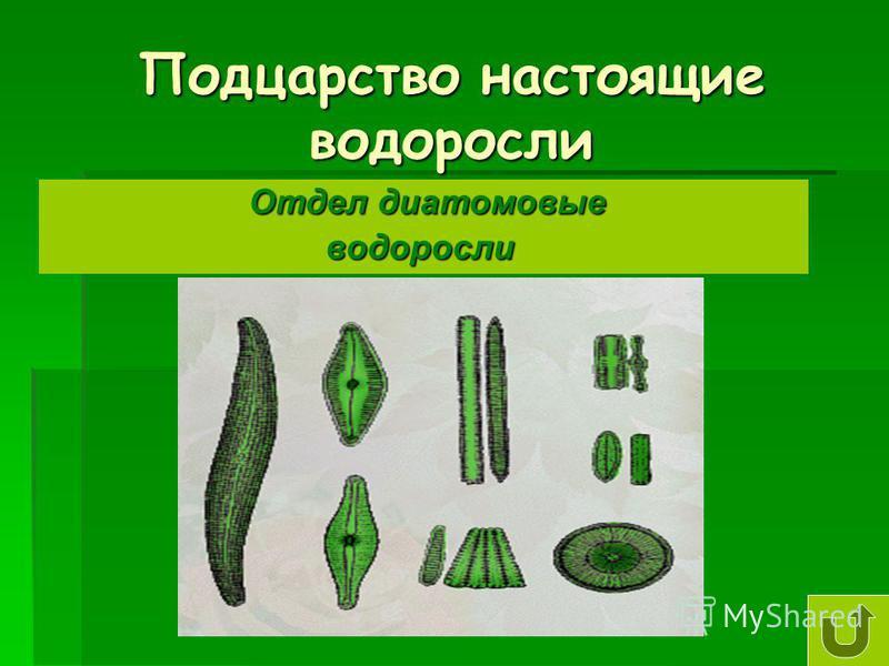 Подцарство настоящие водоросли Отдел диатомовые Отдел диатомовые водоросли водоросли