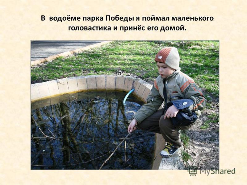 В водоёме парка Победы я поймал маленького головастика и принёс его домой.