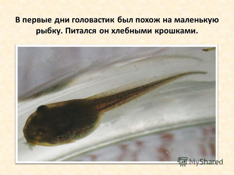 В первые дни головастик был похож на маленькую рыбку. Питался он хлебными крошками.