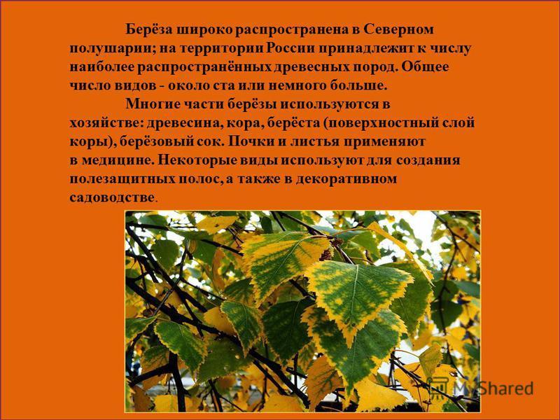 Берёза широко распространена в Северном полушарии; на территории России принадлежит к числу наиболее распространённых древесных пород. Общее число видов - около ста или немного больше. Многие части берёзы используются в хозяйстве: древесина, кора, бе