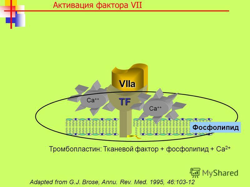 Ca ++ VIIa TF Adapted from G.J. Brose, Annu. Rev. Med. 1995, 46:103-12 Активация фактора VII Тромбопластин: Тканевой фактор + фосфолипид + Са 2+ Фосфолипид Ca ++
