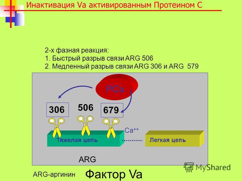 2-х фазная реакция: 1. Быстрый разрыв связи ARG 506 2. Медленный разрыв связи ARG 306 и ARG 579 Ca ++ Тяжелая цепь Легкая цепь 506 PCa 306 679 Инактивация Va активированным Протеином C Фактор Va ARG ARG-аргинин