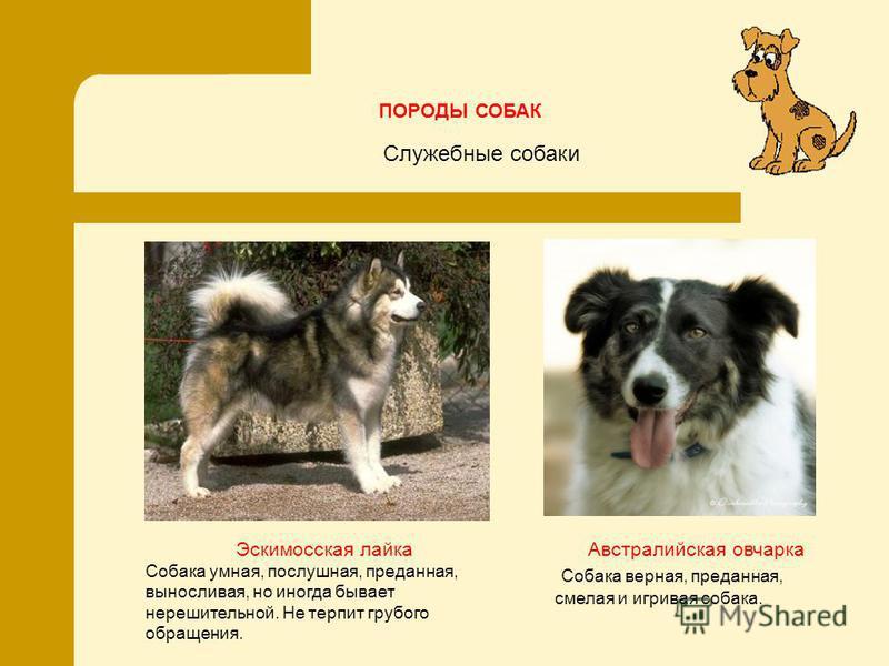 Эскимосская лайка Собака умная, послушная, преданная, выносливая, но иногда бывает нерешительной. Не терпит грубого обращения. ПОРОДЫ СОБАК Австралийская овчарка Собака верная, преданная, смелая и игривая собака. Служебные собаки