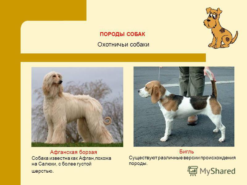 Афганская борзая Собака известна как Афган,похожа на Салюки, c более густой шерстью. Бигль Существуют различные версии происхождения породы. Охотничьи собаки ПОРОДЫ СОБАК