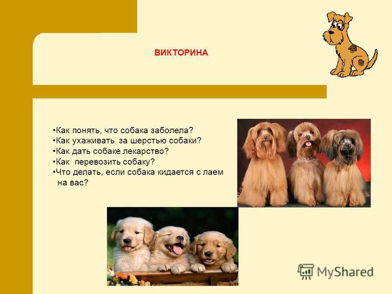 Как понять, что собака заболела? Как ухаживать за шерстью собаки? Как дать собаке лекарство? Как перевозить собаку? Что делать, если собака кидается с лаем на вас? ВИКТОРИНА