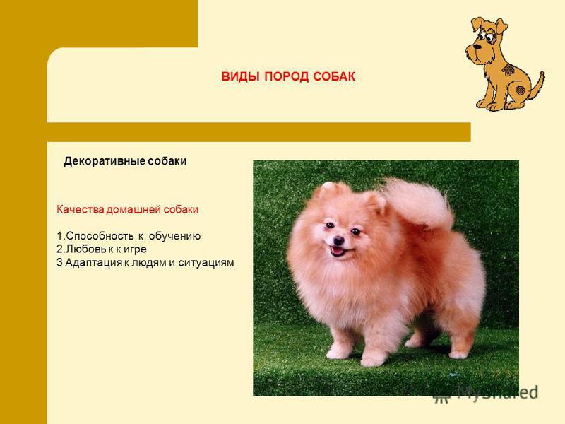 Декоративные собаки Качества домашней собаки 1. Способность к обучению 2. Любовь к к игре 3 Адаптация к людям и ситуациям ВИДЫ ПОРОД СОБАК
