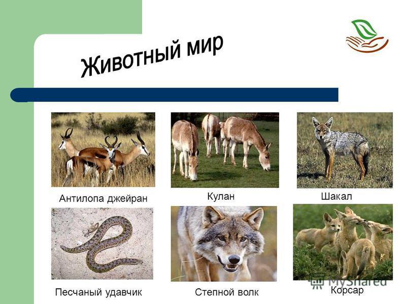 Кулан Антилопа джейран Степной волк Песчаный удавчик Корсар Шакал