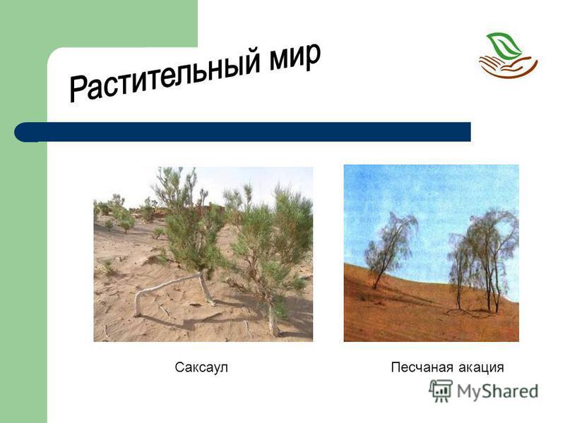 Саксаул Песчаная акация
