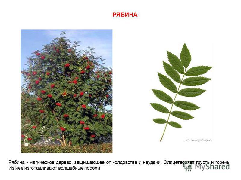 РЯБИНА Рябина - магическое дерево, защищающее от колдовства и неудачи. Олицетворяет грусть и горечь. Из нее изготавливают волшебные посохи