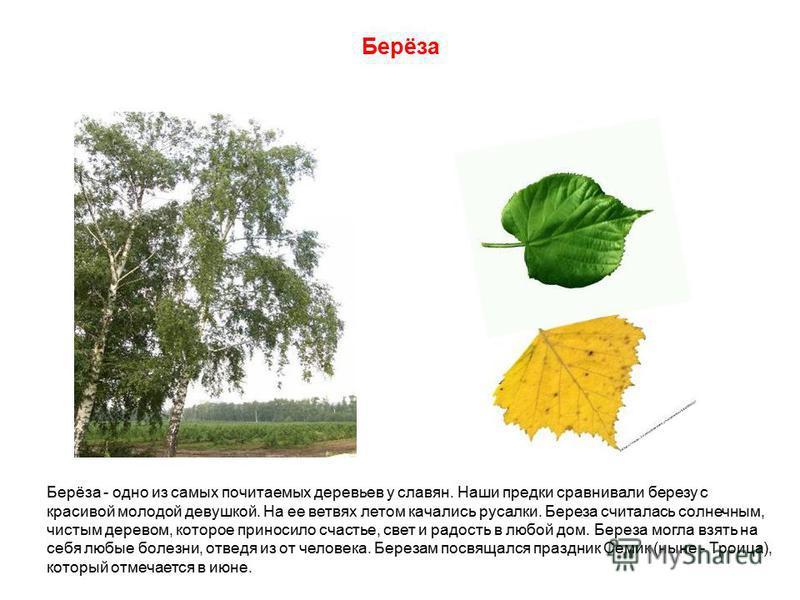 Берёза - одно из самых почитаемых деревьев у славян. Наши предки сравнивали березу с красивой молодой девушкой. На ее ветвях летом качались русалки. Береза считалась солнечным, чистым деревом, которое приносило счастье, свет и радость в любой дом. Бе