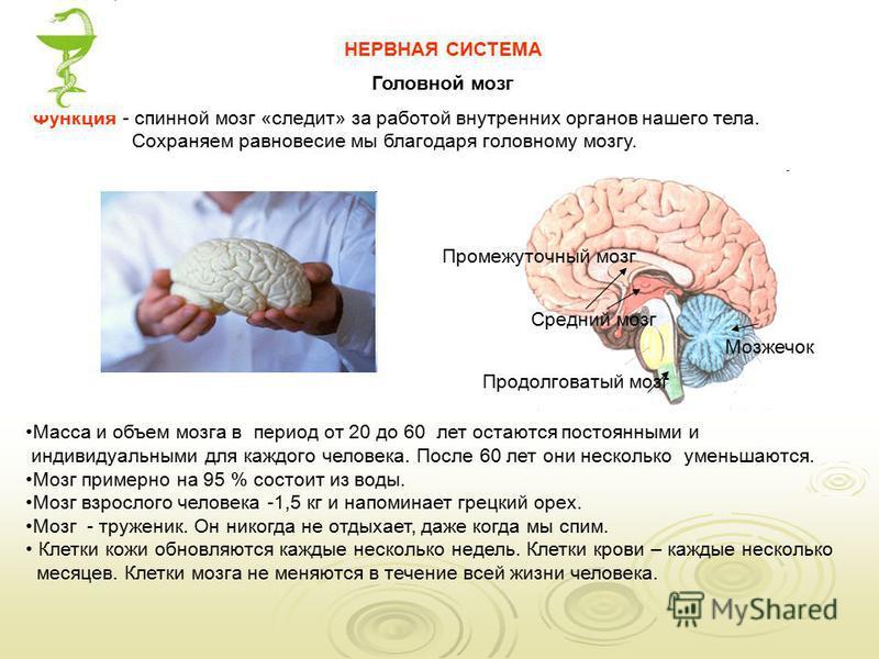 Масса и объем мозга в период от 20 до 60 лет остаются постоянными и индивидуальными для каждого человека. После 60 лет они несколько уменьшаются. Мозг примерно на 95 % состоит из воды. Мозг взрослого человека -1,5 кг и напоминает грецкий орех. Мозг -