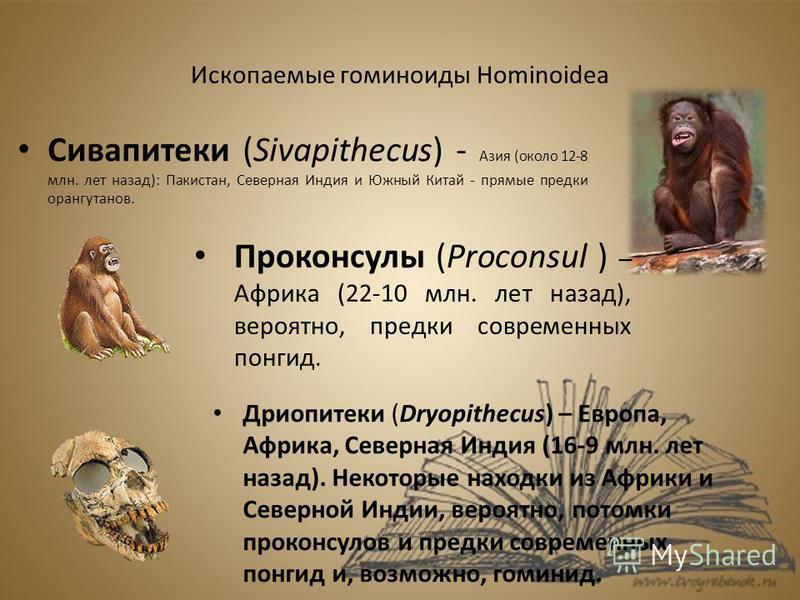 Ископаемые гоминиды Hominoidea Сивапитеки (Sivapithecus) - Азия (около 12-8 млн. лет назад): Пакистан, Северная Индия и Южный Китай - прямые предки орангутанов. Проконсулы (Proconsul ) – Африка (22-10 млн. лет назад), вероятно, предки современных пон