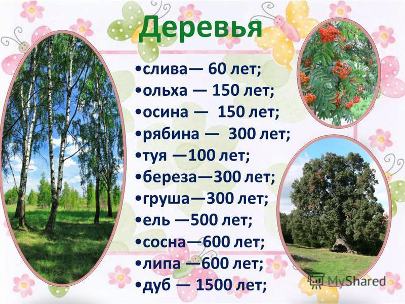 Деревья слива 60 лет; ольха 150 лет; осина 150 лет; рябина 300 лет; туя 100 лет; береза 300 лет; груша 300 лет; ель 500 лет; сосна 600 лет; липа 600 лет; дуб 1500 лет;