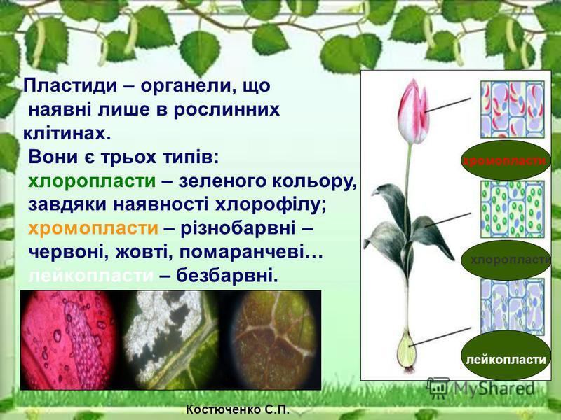 Пластиди – органели, що наявні лише в рослинних клітинах. Вони є трьох типів: хлоропласти – зеленого кольору, завдяки наявності хлорофілу; хромопласти – різнобарвні – червоні, жовті, помаранчеві… лейкопласти – безбарвні. хромопласти хлоропласти лейко