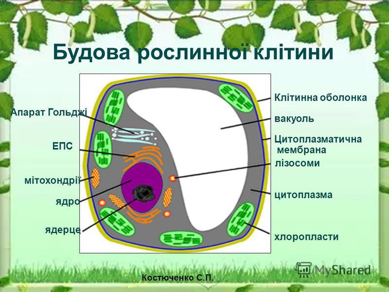 Будова рослинної клітини Клітинна оболонка вакуоль Цитоплазматична мембрана лізосоми цитоплазма хлоропласти ЕПС Апарат Гольджі мітохондрії ядро ядерце Костюченко С.П.