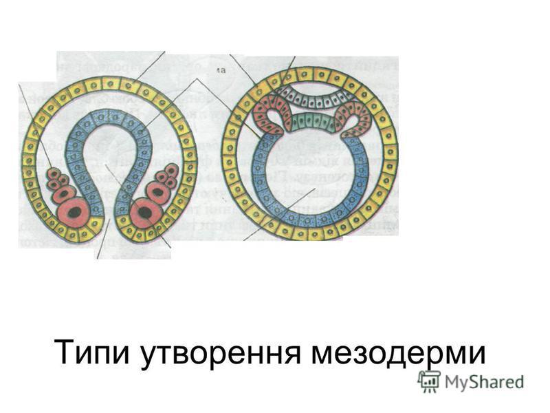 Типи утворення мезодерми