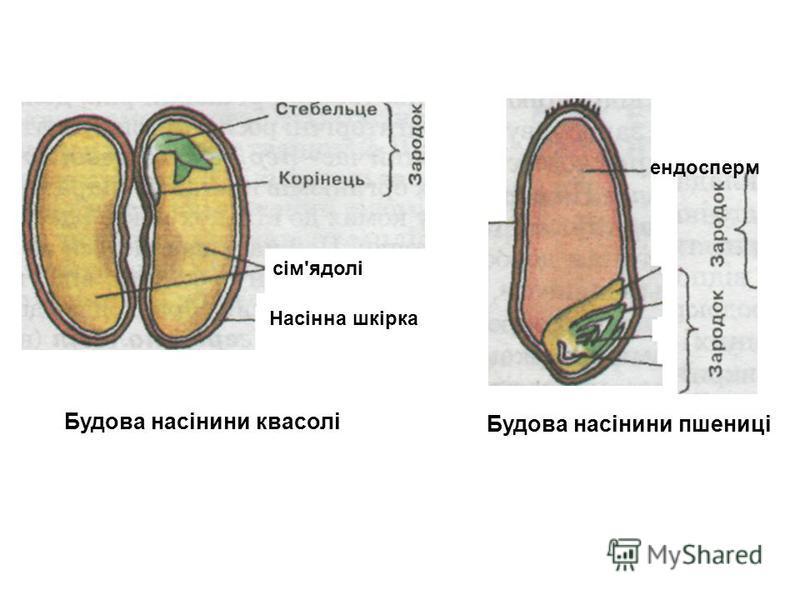 Будова насінини квасолі та пшениці Будова насінини квасолі Будова насінини пшениці сім'ядолі Насінна шкірка ендосперм