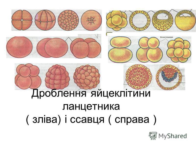 Дроблення яйцеклітини ланцетника ( зліва) і ссавця ( справа )