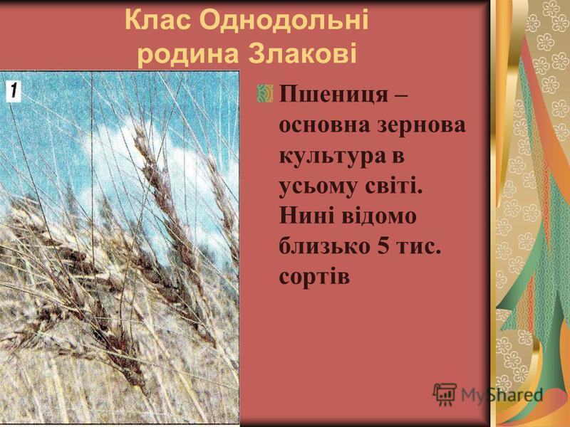 Клас Однодольні родина Злакові Пшениця – основна зернова культура в усьому світі. Нині відомо близько 5 тис. сортів