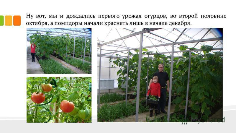 Ну вот, мы и дождались первого урожая огурцов, во второй половине октября, а помидоры начали краснеть лишь в начале декабря.