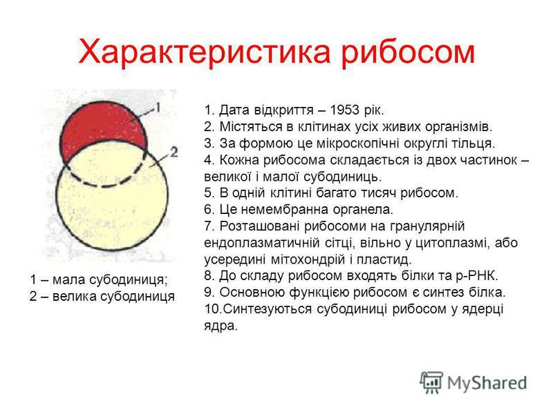 Характеристика рибосом 1 – мала субодиниця; 2 – велика субодиниця 1. Дата відкриття – 1953 рік. 2. Містяться в клітинах усіх живих організмів. 3. За формою це мікроскопічні округлі тільця. 4. Кожна рибосома складається із двох частинок – великої і ма