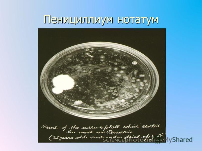 Пенициллиум нотатум