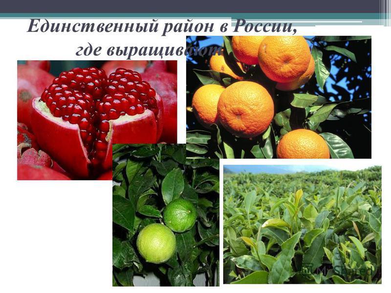 Единственный район в России, где выращивают