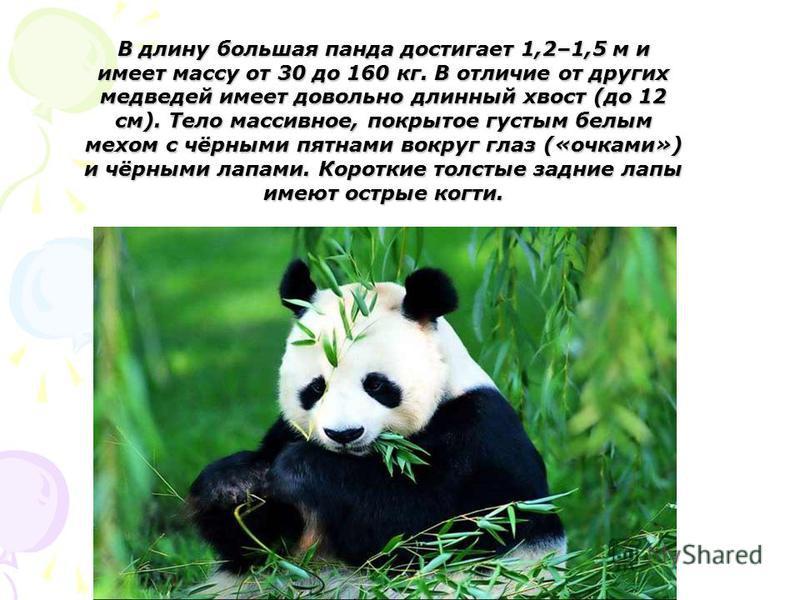 В длину большая панда достигает 1,2–1,5 м и имеет массу от 30 до 160 кг. В отличие от других медведей имеет довольно длинный хвост (до 12 см). Тело массивное, покрытое густым белым мехом с чёрными пятнами вокруг глаз («очками») и чёрными лапами. Коро