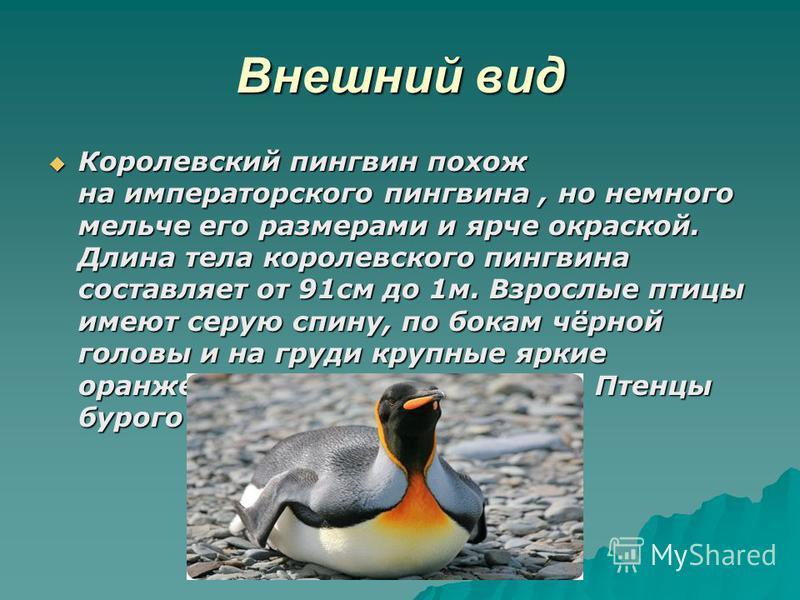 Внешний вид Королевский пингвин похож на императорского пингвина, но немного мельче его размерами и ярче окраской. Длина тела королевского пингвина составляет от 91 см до 1 м. Взрослые птицы имеют серую спину, по бокам чёрной головы и на груди крупны