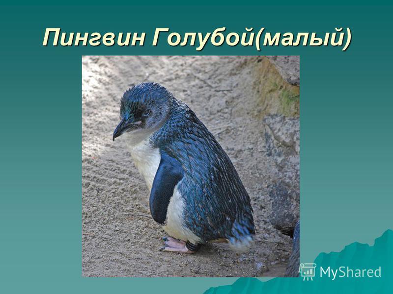 Пингвин Голубой(малый)