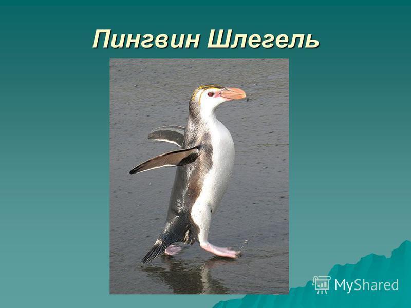 Пингвин Шлегель