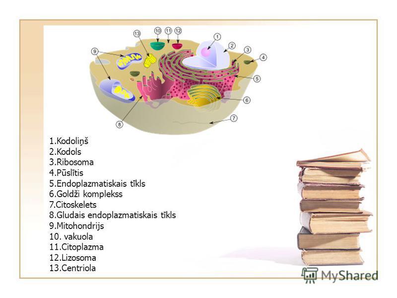 1.Kodoliņš 2.Kodols 3.Ribosoma 4.Pūslītis 5.Endoplazmatiskais tīkls 6.Goldži komplekss 7.Citoskelets 8.Gludais endoplazmatiskais tīkls 9.Mitohondrijs 10. vakuola 11.Citoplazma 12.Lizosoma 13.Centriola