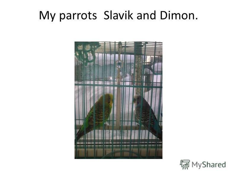 My parrots Slavik and Dimon.