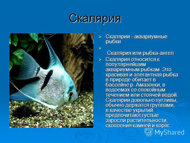 Скалярия Скалярии - аквариумные рыбки Скалярии - аквариумные рыбки Скалярия или рыбка-ангел Скалярия или рыбка-ангел Скалярия относится к популярнейшим аквариумным рыбкам. Это красивая и элегантная рыбка в природе обитает в бассейне р. Амазонки, в во