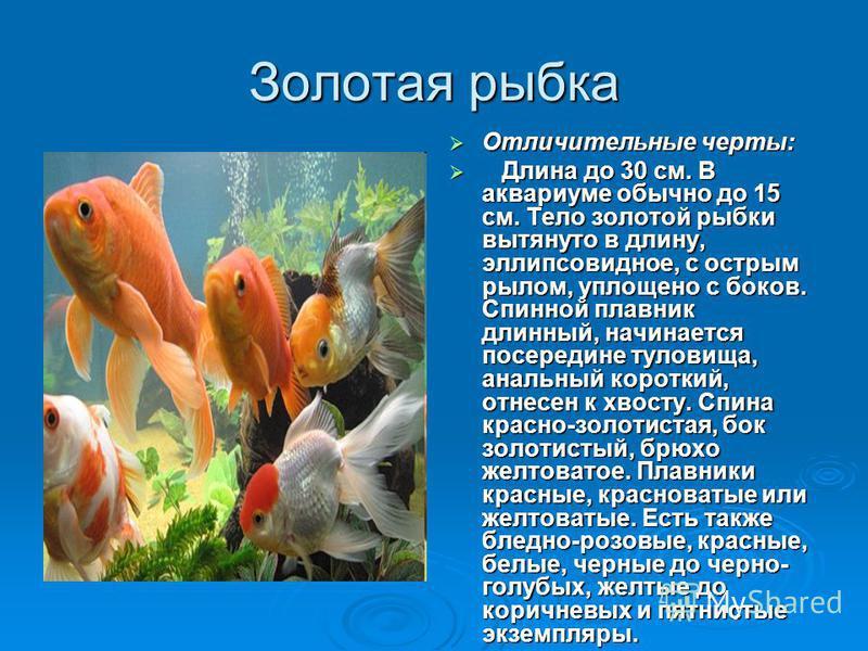 Золотая рыбка Отличительные черты: Отличительные черты: Длина до 30 см. В аквариуме обычно до 15 см. Тело золотой рыбки вытянуто в длину, эллипсовидное, с острым рылом, уплощено с боков. Спинной плавник длинный, начинается посередине туловища, анальн