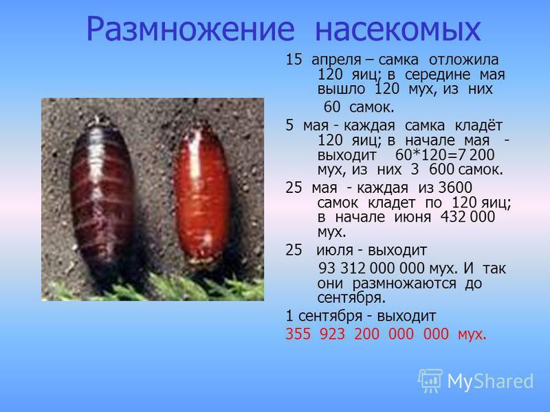Размножение насекомых 15 апреля – самка отложила 120 яиц; в середине мая вышло 120 мух, из них 60 самок. 5 мая - каждая самка кладёт 120 яиц; в начале мая - выходит 60*120=7 200 мух, из них 3 600 самок. 25 мая - каждая из 3600 самок кладет по 120 яиц