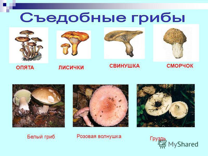 ОПЯТАЛИСИЧКИ СВИНУШКАСМОРЧОК Белый гриб Розовая волнушка Груздь