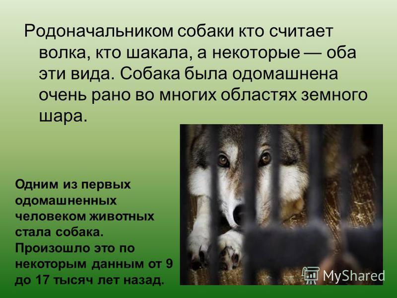 Родоначальником собаки кто считает волка, кто шакала, а некоторые оба эти вида. Собака была одомашнена очень рано во многих областях земного шара. Одним из первых одомашненных человеком животных стала собака. Произошло это по некоторым данным от 9 до