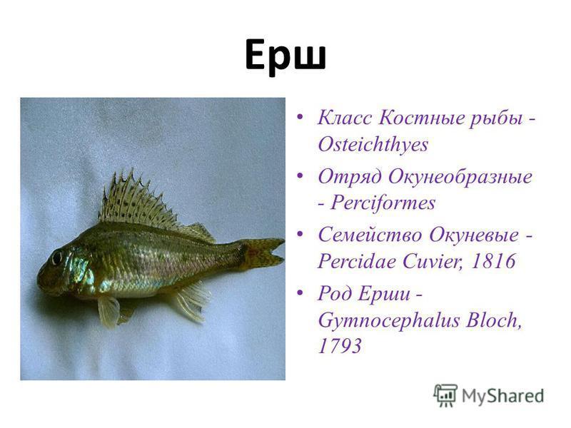 Ерш Класс Костные рыбы - Osteichthyes Отряд Окунеобразные - Perciformes Семейство Окуневые - Percidae Cuvier, 1816 Род Ерши - Gymnocephalus Bloch, 1793