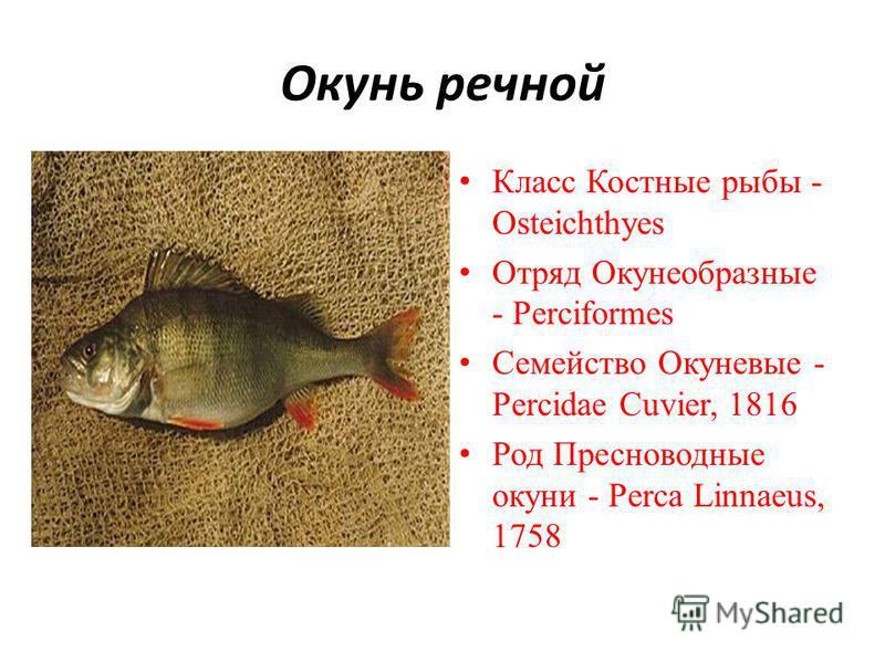 Окунь речной Класс Костные рыбы - Osteichthyes Отряд Окунеобразные - Perciformes Семейство Окуневые - Percidae Cuvier, 1816 Род Пресноводные окуни - Perca Linnaeus, 1758