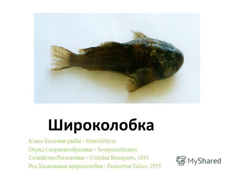 Широколобка Класс Костные рыбы - Osteichthyes Отряд Скорпенообразные - Scorpaeniformes Семейство Рогатковые - Cottidae Bonaparte, 1831 Род Каменнные широколобки - Paracottus Taliev, 1955