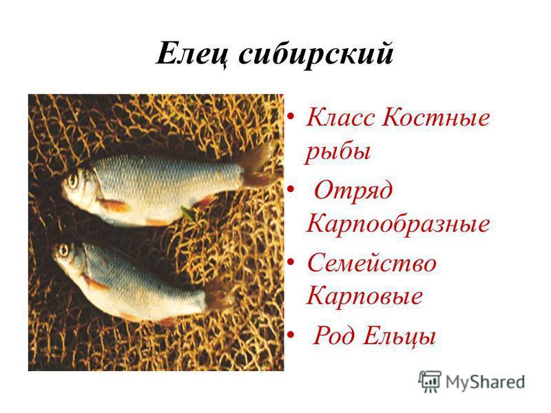 Елец сибирский Класс Костные рыбы Отряд Карпообразные Семейство Карповые Род Ельцы